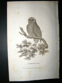 Shaw C1810 Antique Bird Print. Cayenne Owl